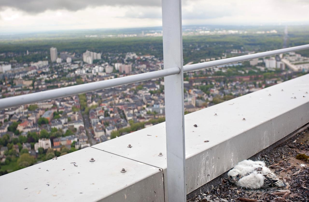 Der Austausch des Markenlogos am Westturm der Commerzbank Zentrale in Frankfurt am Main ist verschoben, da auf 258 m Hoehe, seit dem 13.April Wanderfalken ihren Nachwuchs brueten. Die geschluepften Kueken werden einmal woechentlich vom Leiter der technischen Betriebsfuehrung Herrn Michael Sauer aufgesucht und dokumentiert. Ansonsten ruhen alle Arbeiten an diesem Turm bis zum Abzug der Falken.