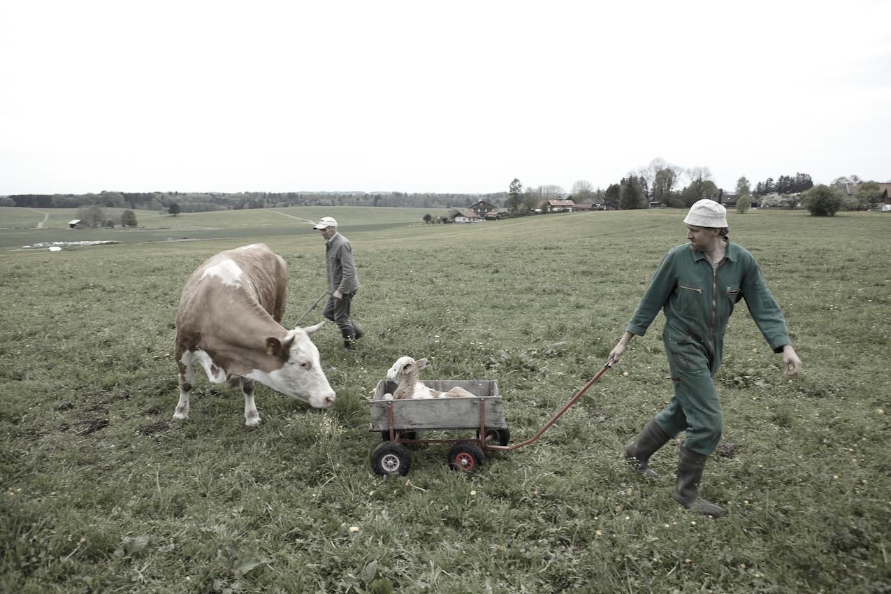 Demeter-Landwirt Josef Bichlmayr zieht das neugeborene und laufschwache Kälbchen auf einem Handwagen zum heimischen Stall. Muttertier und Vater Josef folgen