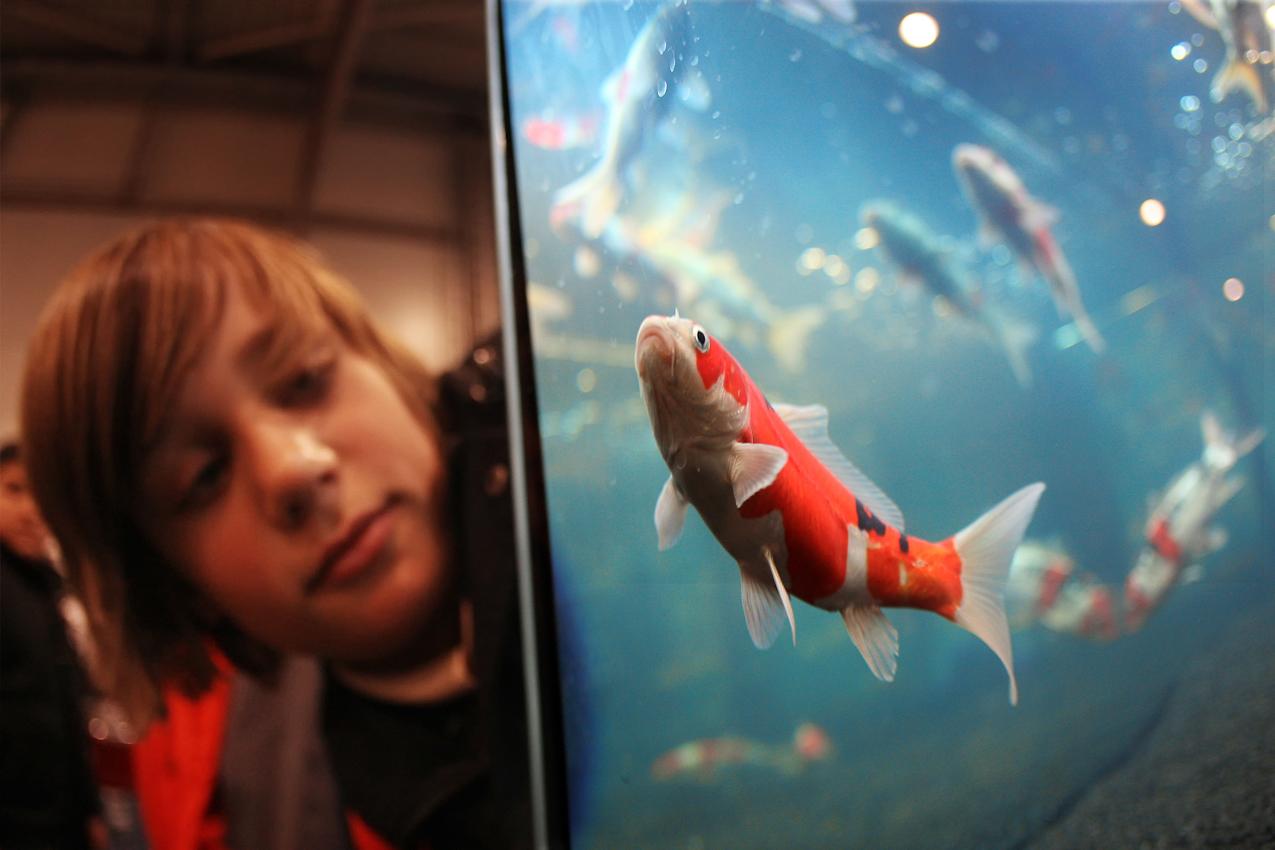 Auf der Erlebnismesse Hund & Heimtier in der Dortmunder Westfalenhalle konnte man auf insgesamt 45.000 qm  neben Hunden auch Katzen,  Papageien, Tauben, Fische und andere Tiere hautnah erleben. Ein Schüler beobachtete in einem Aquarium japanische Koi Fische.