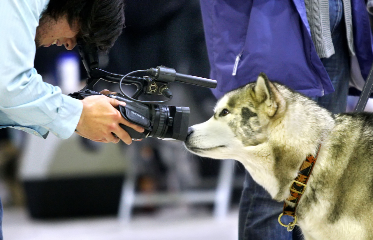 Ein Husky-Hund setzt sich richtig in Szene fur einen Kameramann. Zu sehen war dies am Rande der Hund und Heimtier-Messe in der Dortmunder Westfalenhalle. Auf insgesamt 45.000 qm konnten neben Hunden auch Katzen,  Papageien, Tauben, Fische und andere Tiere hautnah erlebt werden.