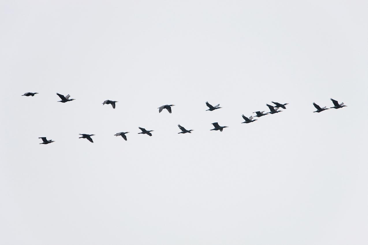 Kormoran, Vogel des Jahres 2010, im Flug. Anklamer Stadtbruch, Mecklenburg-Vorpommern, Deutschland