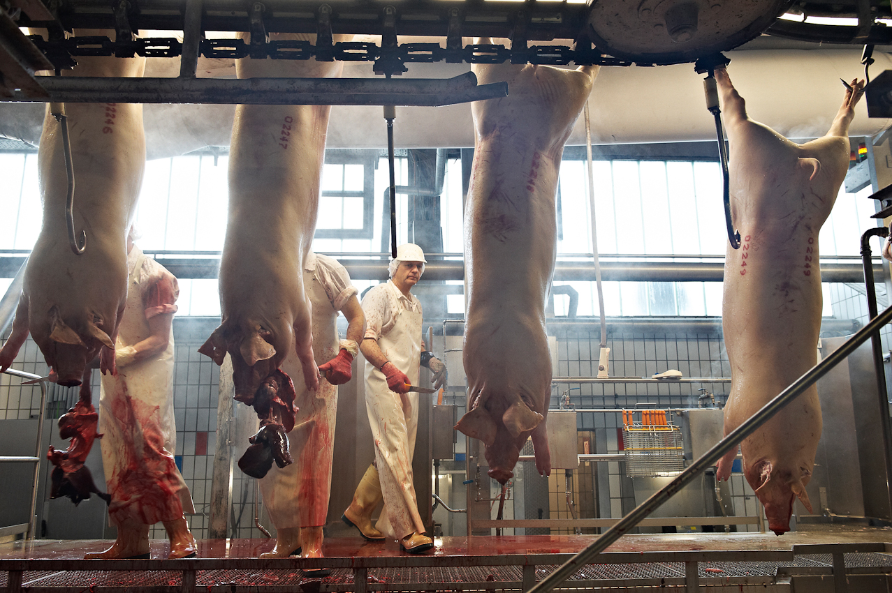 Schlachthof Vogler Fleisch LuckauSchlachthof der Firma Vogler Fleisch 29487 Luckau Ortsteil Steine, Wendland. Die angelieferten Tiere (hier Schweine) werden geschlachtet, ausgenommen und nach einer Nacht im Kühlhaus von polnischen Gastarbeitern zerlegt. Das Fleisch wird dann an die Kunden (z.B.Supermarktketten/Schlachtereien) geliefert. Nach jedem Tier muss der Schlachter aus Hygienegründen das Messer wechseln. Erst werden Magen und Darme entfernt. Im zweiten Schritt folgen Organe, wie Herz, Lunge Leber Niere. Danach wird das tote Tier von einer Robotersäge in Hälften zerteilt.