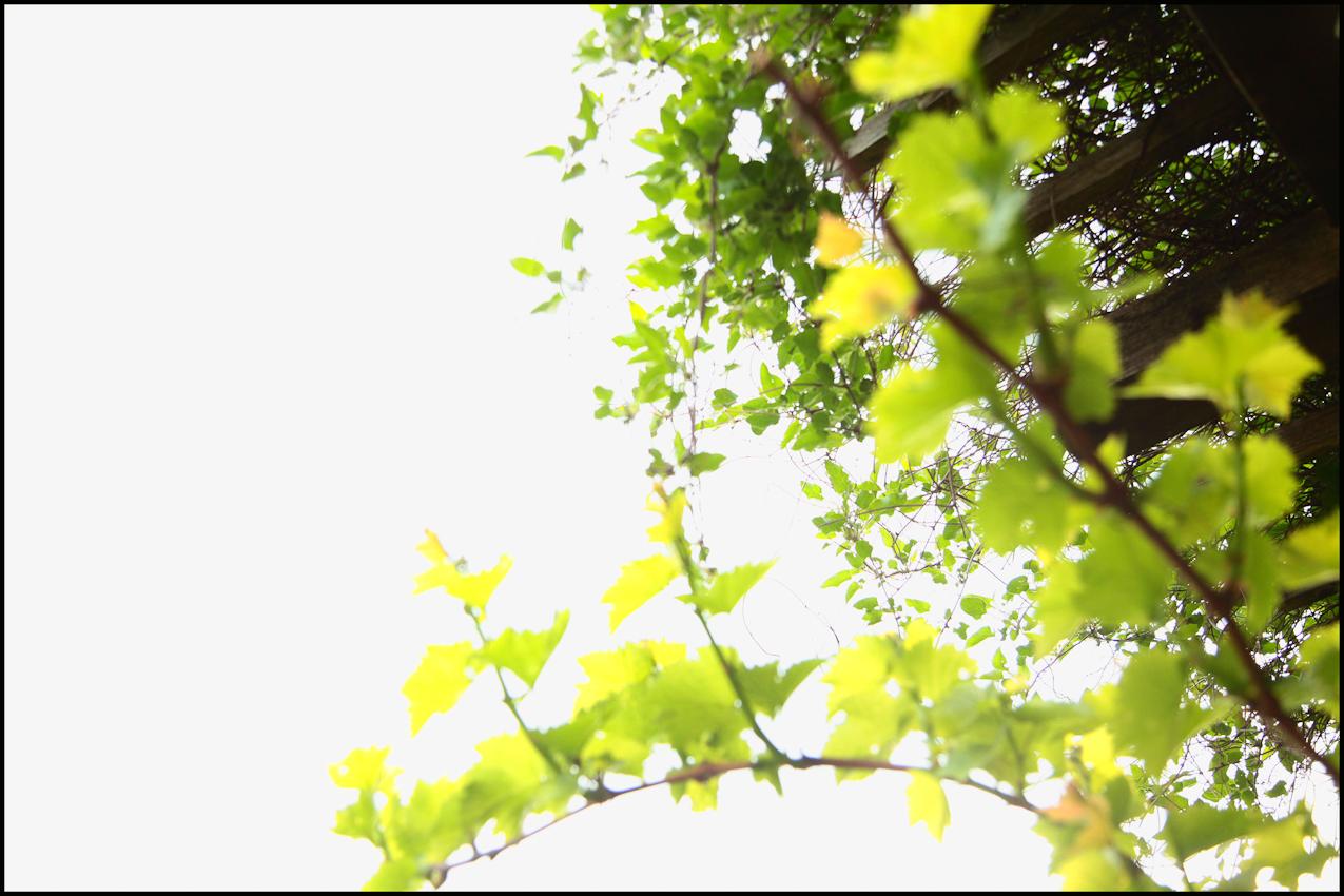 Die ersten Frühjahrstriebe sind entsprungen und damit fängt die Arbeit der Winzer wieder an. Verschneiden, biegen, festbinden, gießen...