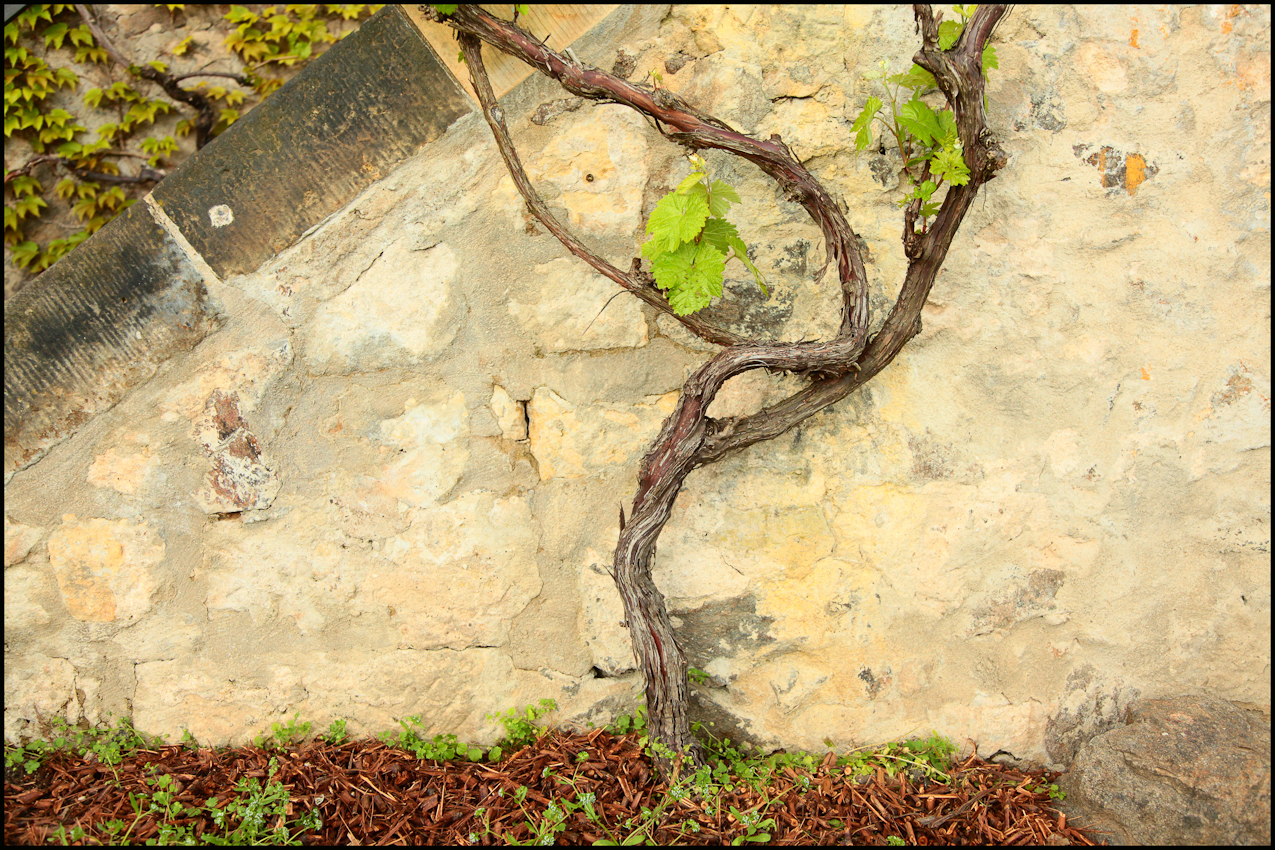 Ein Rebstock an einer der zahlreichen Sandsteinmauern, welche hier im  Pillnitzer Weinberg kaum wegzudenken sind.