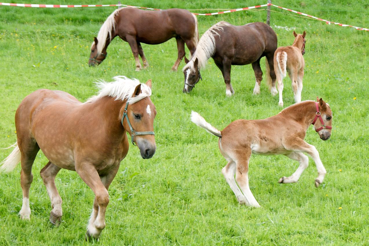 Zwei Fohlen und drei Stuten sind nach Wochen im Stall zum ersten Mal wieder auf der Weide. Mittags bei Surberg. In der Nähe des Bauernhofes Bauer Prechtl.