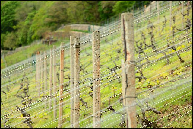 Sachsens Weinanbaugebiet 4